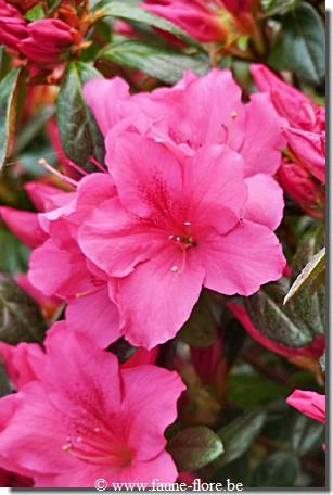 Azalea Japonica Excelsior