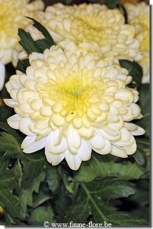 Chrysanthemum Zembla Cream