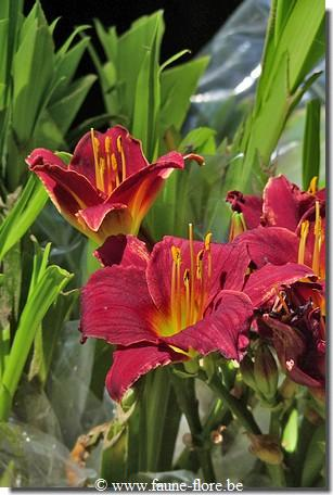 Hemerocallis Dark Avenger