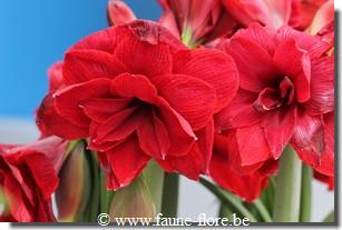 Hippeastrum Double Dragon