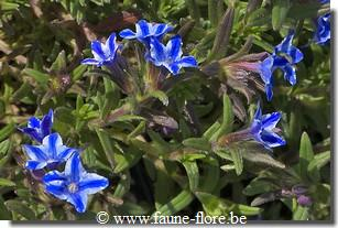 Lithodora diffusa Star