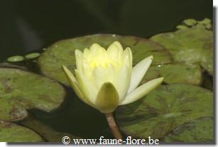 Nymphaea Marliacea Chromatella