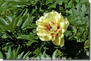 Paeonia yellow waterlily