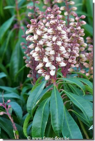 Pieris japonica Bonfire