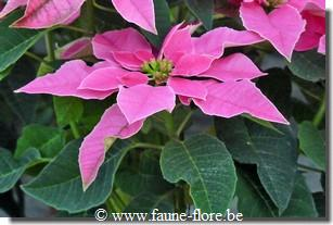 Poinsettia princettia Hot Pink
