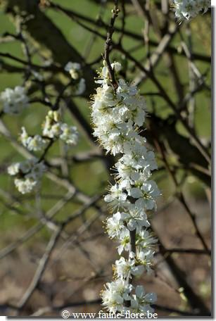 Prunus domestica insititia julianae