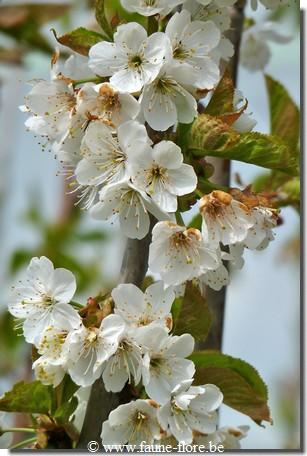 Prunus Early Rivers