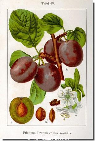 Prunus Insititia