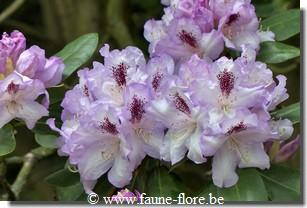 Rhododendron arthur bedford