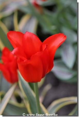 Tulipa Fire of Love