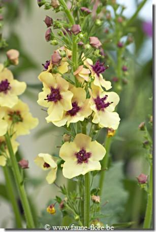 Verbascum phoeniceum Southern Charm