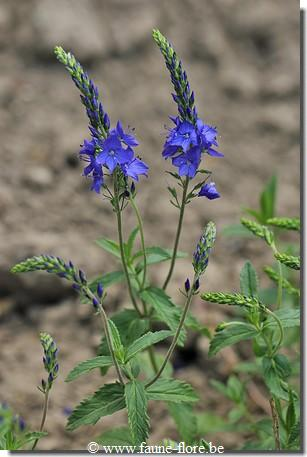 Veronica spicata Romiley Purple