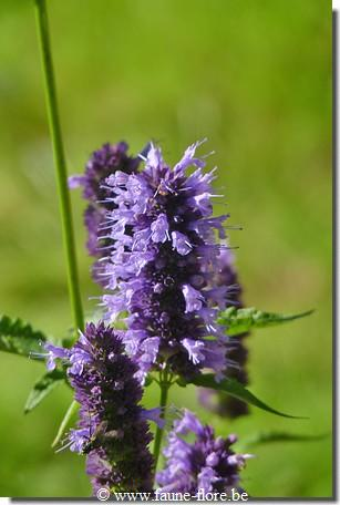 photos450/agastache_foeniculum_black_adder_detail.jpg