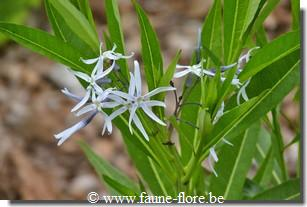 photos450/amsonia_ciliata_feuille.jpg