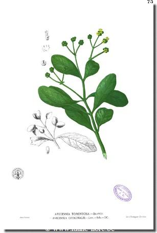 Avicennia officinalis