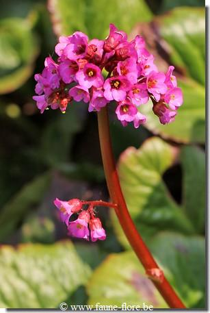 Bergenia Eden s Dark Margin