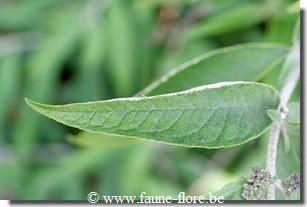 photos450/buddleja_feuille.jpg