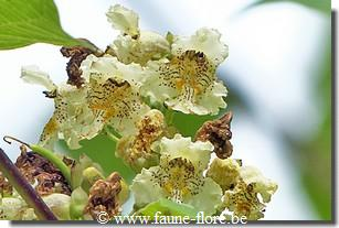 Catalpa ovata flavescens