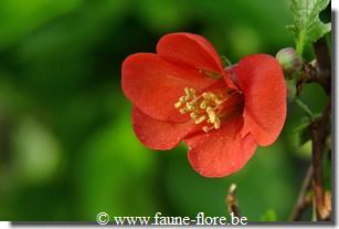 Chaenomeles superba Fascination