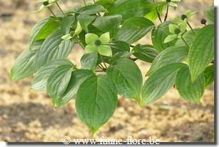 Cornus kousa Wietings Select