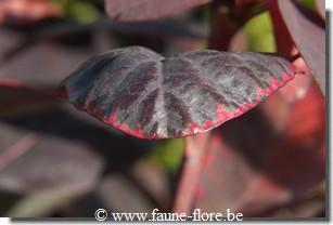 photos450/cotinus_coggygria_royal_purple_feuille.jpg
