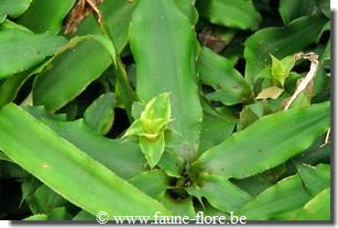 photos450/cryptanthus_acaulis_argenteus_fruit.jpg