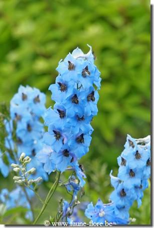 Delphinium Magic Fountain