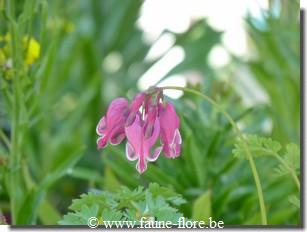 Dicentra spectabilis King of Hearts