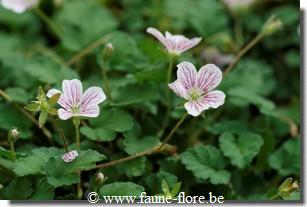 Erodium variabile roseum