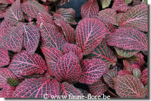 Fittonia mosaic pink diamond
