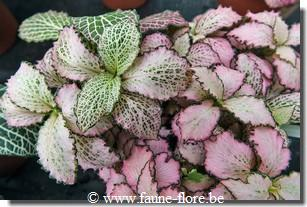 Fittonia mosaic zalm start