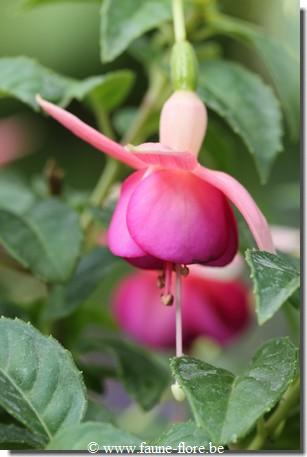 Fuchsia Churchtown