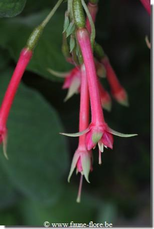 Fuchsia Jungle
