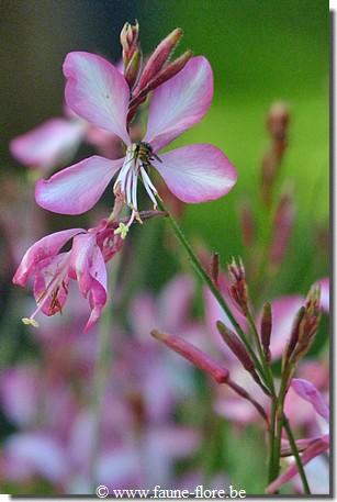 Gaura lindheimeri Summer Emotions