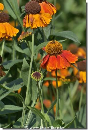 photos450/helenium_sahin_s_early_flowerer_fleur.jpg