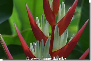 Heliconia angusta