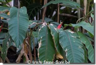 photos450/heliconia_humilis_ensemble.jpg