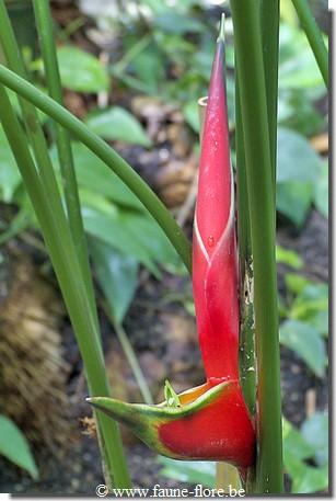 photos450/heliconia_humilis_fruit.jpg