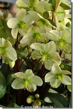 photos450/helleborus_candy_love_fruit.jpg