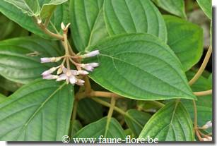 photos450/hemigraphis_primulifolia_feuille.jpg