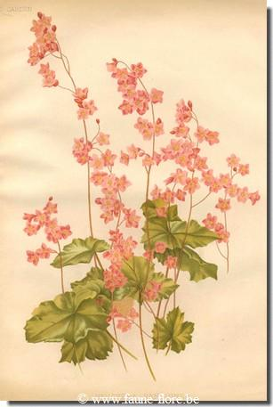 photos450/heuchera_sanguinea_dessin.jpg