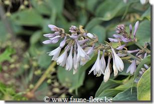 Hosta Blue Wedgewood