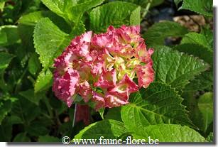 Hydrangea macrophylla Red Wonder
