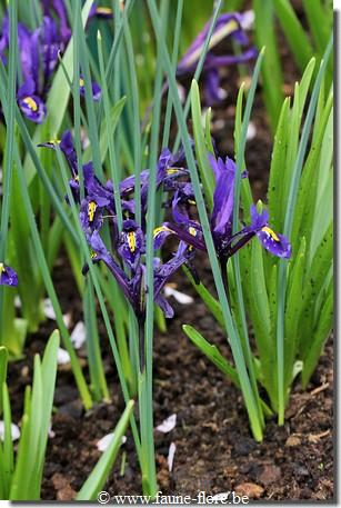 photos450/iris_reticulata_fruit.jpg