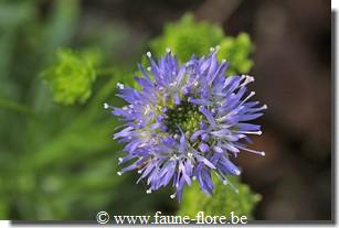 Jasione laevis Blue Light