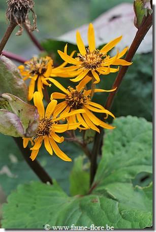 photos450/ligularia_clivorum_detail.jpg