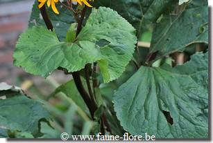 photos450/ligularia_clivorum_feuille.jpg