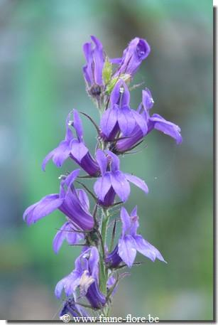 Lobelia speciosa Fan Blue