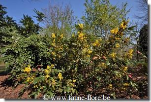 photos450/mahonia_aquifolium_ensemble.jpg