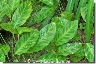 photos450/maranta_insignis_feuille.jpg